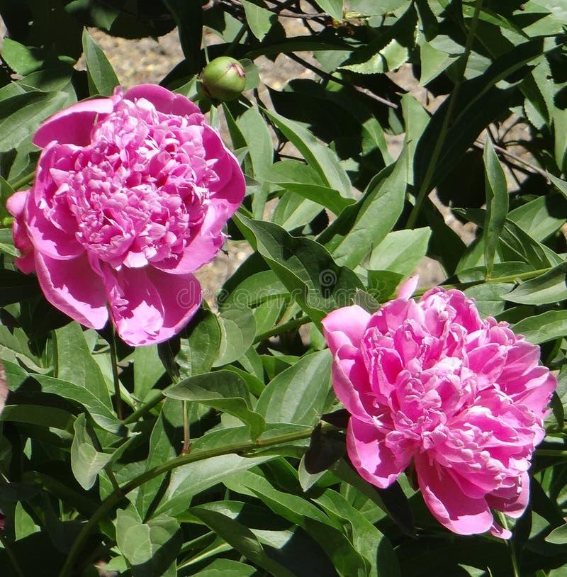 桃红色牡丹在夏天庭院里 库存图片