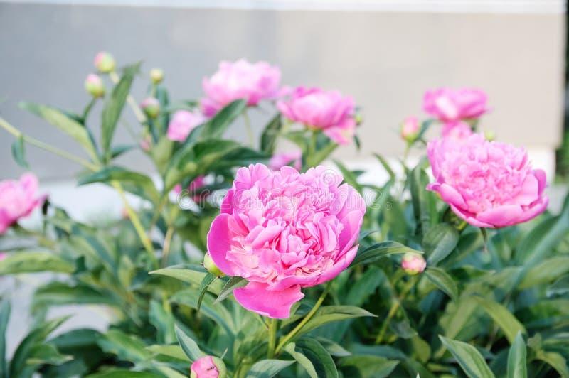 桃红色牡丹开花在日落,夏天庭院 库存图片