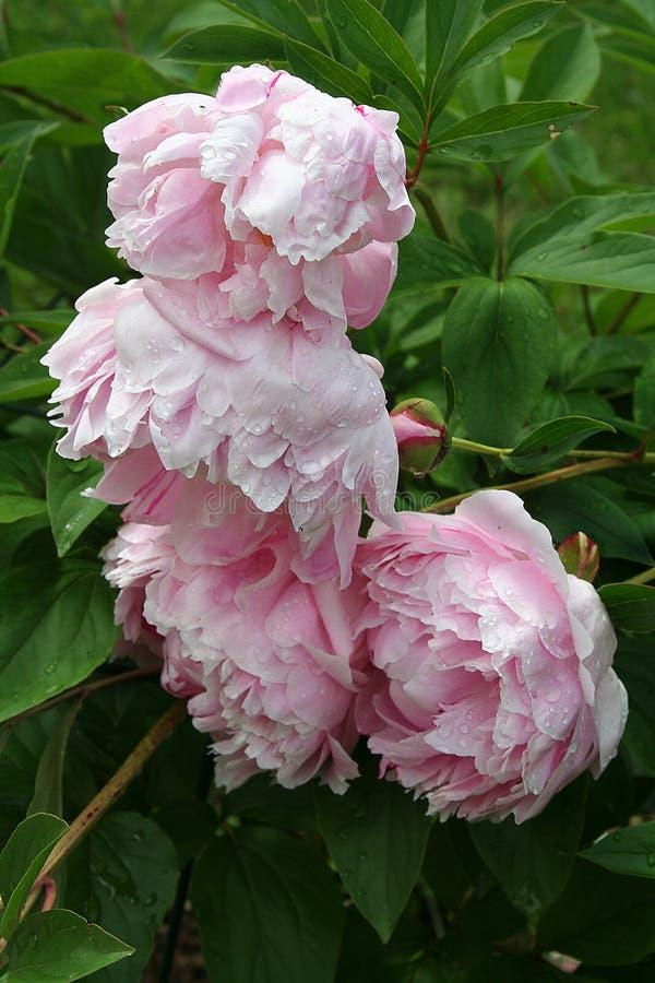 桃红色牡丹开花群在一个雨被亲吻的春天庭院里点头 免版税图库摄影