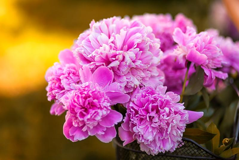 桃红色牡丹美丽的新鲜的花束的特写镜头  免版税库存照片