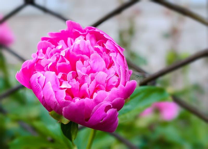 桃红色牡丹花在乡下庭院里有被弄脏的背景 免版税库存图片