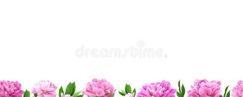 从桃红色牡丹花的框架在与拷贝空间的白色背景 库存照片