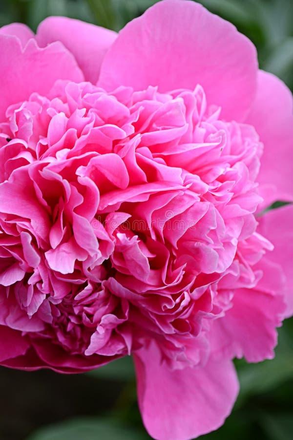 Download 桃红色牡丹 库存照片. 图片 包括有 粉红色, 工厂, 夏天, 重婚, 庭院, 自然, 春天, 详细资料 - 72370634