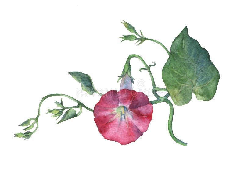 桃红色牵牛花领域野生植物,旋花植物arvensis开花 向量例证