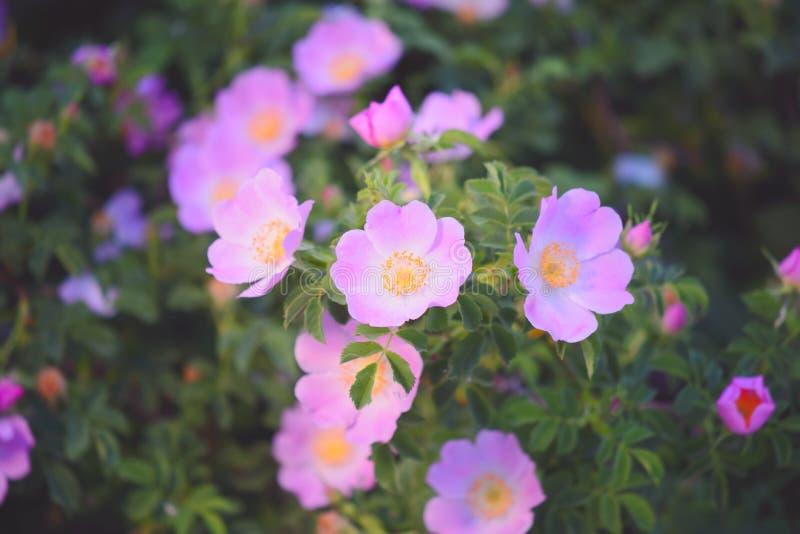 桃红色玫瑰丛 图库摄影