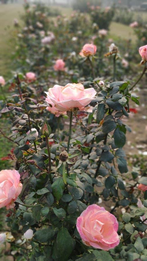 桃红色玫瑰和绿色叶子 库存图片