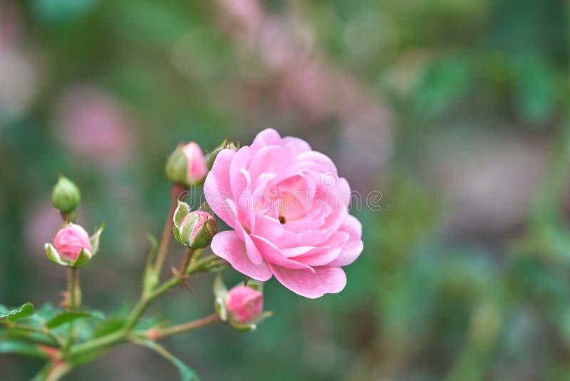 桃红色玫瑰在一个热带庭院里开花有自然绿色弄脏的背景 代表言情罗斯爱 作为背景Valen 免版税图库摄影