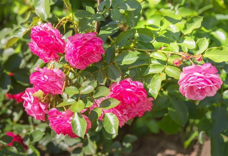桃红色玫瑰在庭院里 图库摄影