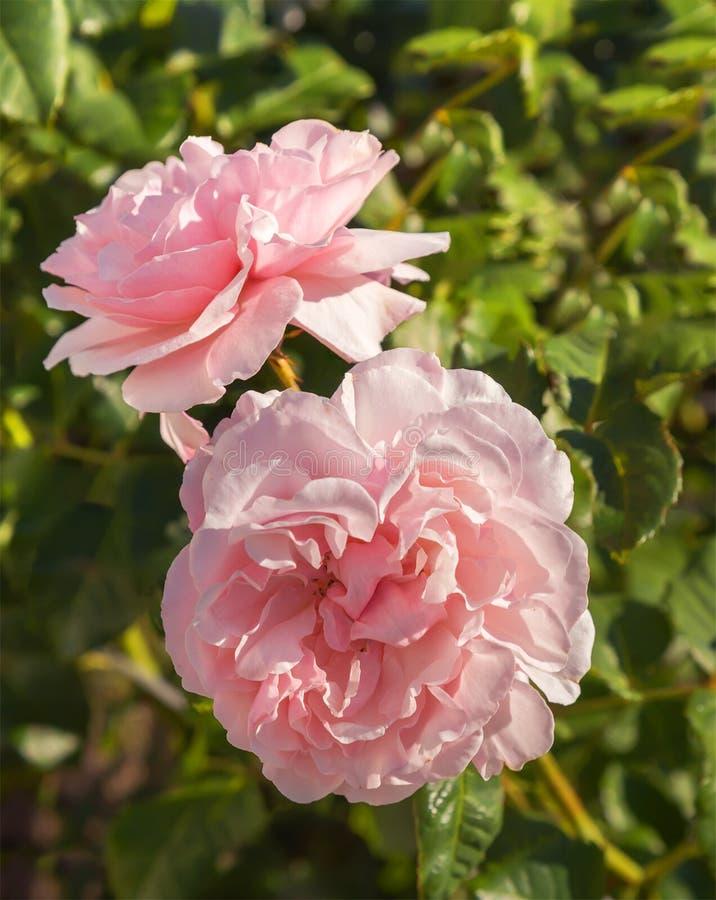 桃红色玫瑰在庭院里 库存图片