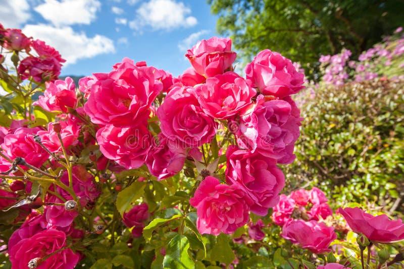 桃红色玫瑰在庭院里 免版税库存照片
