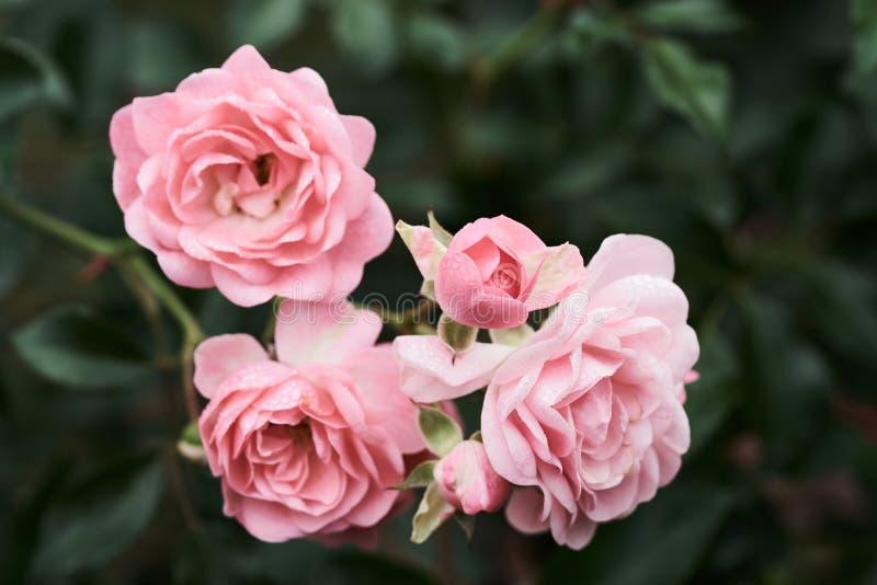 桃红色玫瑰在有自然绿色blurrin的一个热带庭院里开花 免版税库存照片