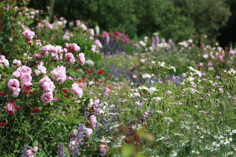 桃红色玫瑰在村庄庭院里 免版税库存照片