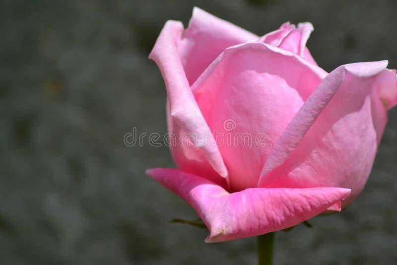 桃红色玫瑰在自然阳光下 免版税库存照片
