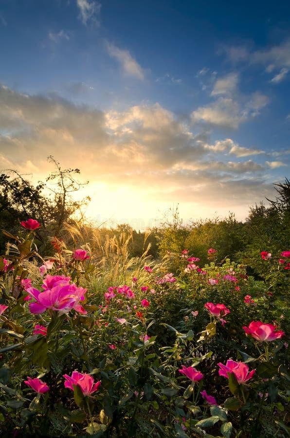 桃红色玫瑰在黎明 库存照片