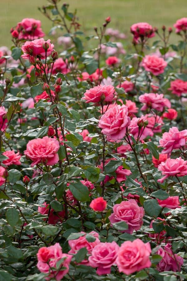 桃红色玫瑰大灌木在雨中 很多芽 r r 库存照片