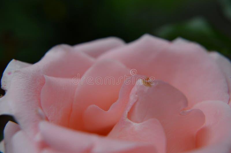 桃红色玫瑰宏观的花瓣 免版税库存照片