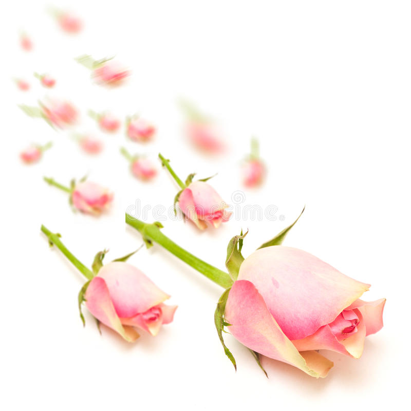 桃红色玫瑰小瀑布概念 免版税库存照片