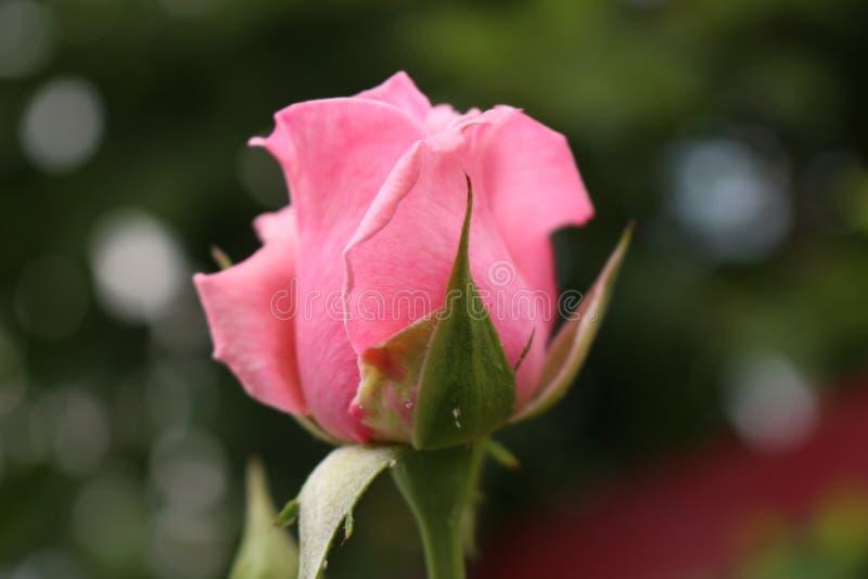 桃红色玫瑰的未打开的芽 免版税库存图片