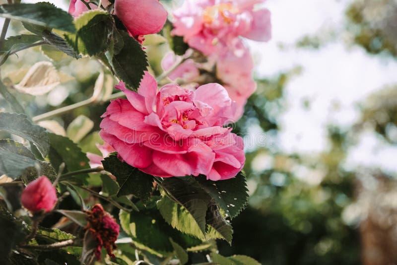 桃红色玫瑰的芽在阳光下 免版税库存图片