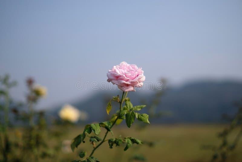 桃红色玫瑰色和山景 免版税库存图片