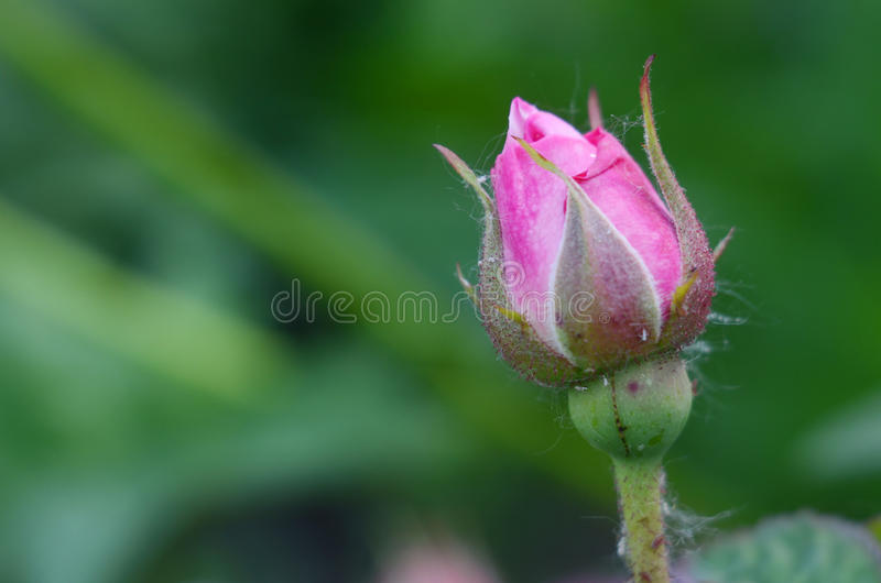 桃红色玫瑰芽灌木特写镜头宏指令 库存图片