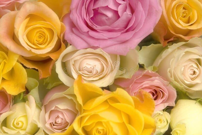桃红色玫瑰黄色 免版税库存图片