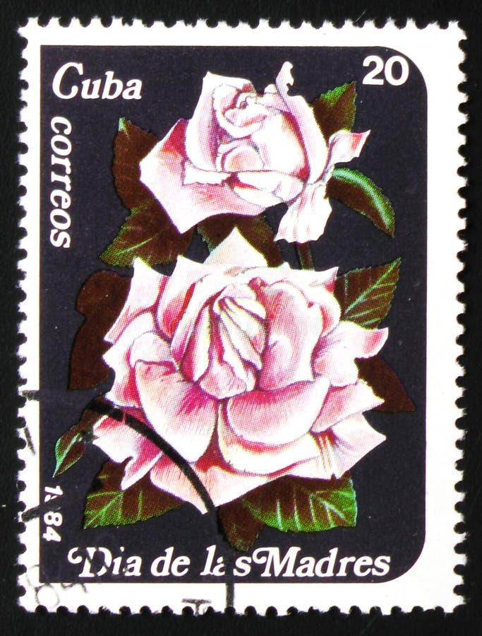 桃红色玫瑰,大约1984年 图库摄影