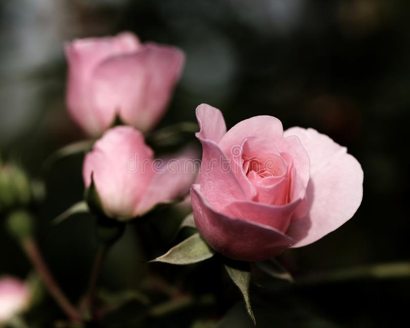 桃红色玫瑰,有一点成为不饱和为作用 库存图片