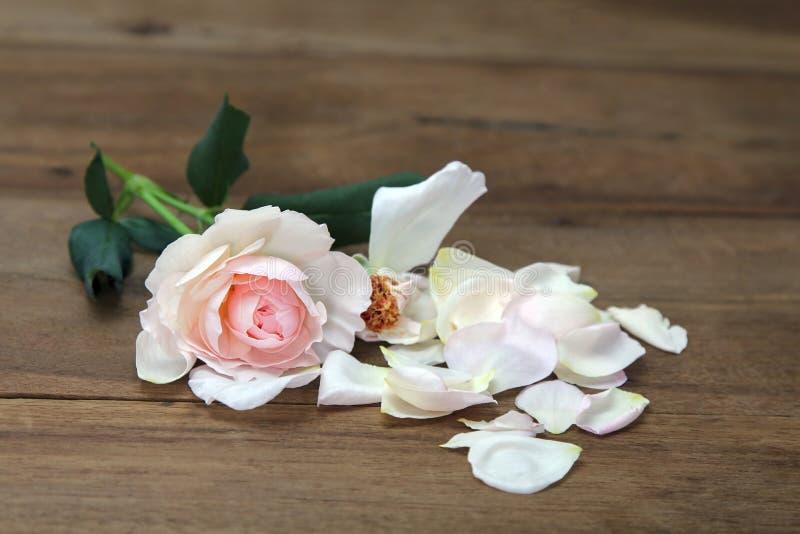 桃红色玫瑰,瓣在木背景驱散了 库存照片
