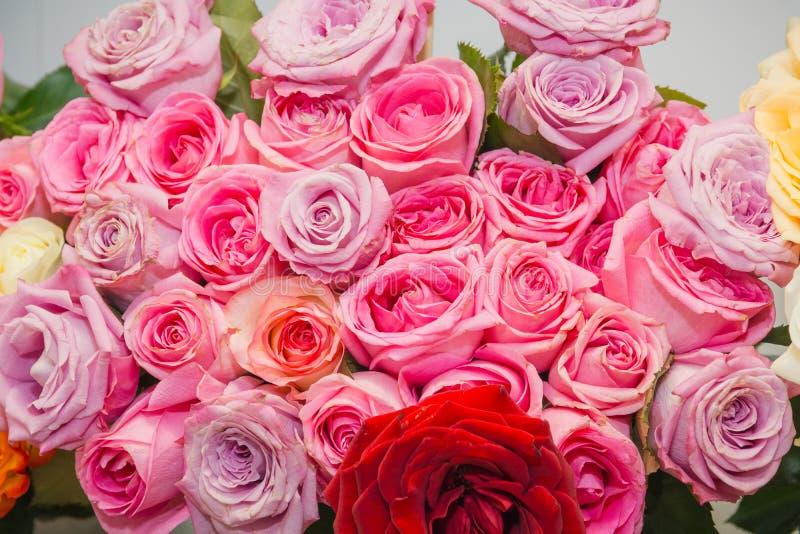 桃红色玫瑰 它是很多桃红色玫瑰 免版税库存图片
