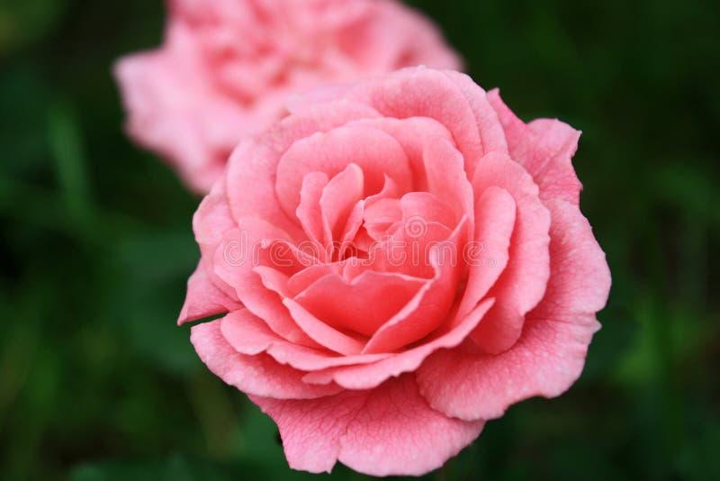 桃红色玫瑰-花 库存图片