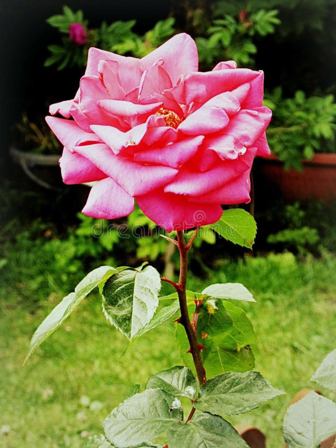 桃红色玫瑰画象 库存照片