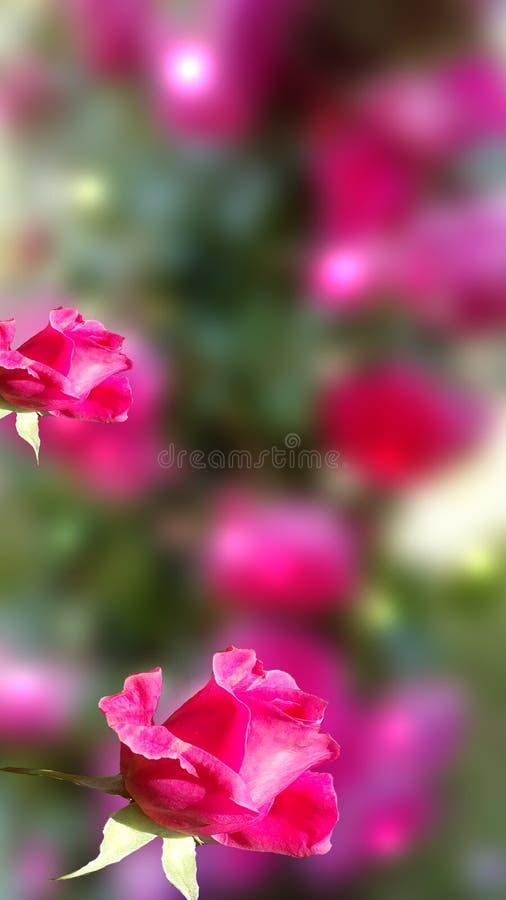 桃红色玫瑰 库存图片