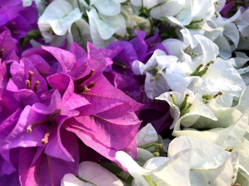 桃红色白色九重葛花植物群 库存照片