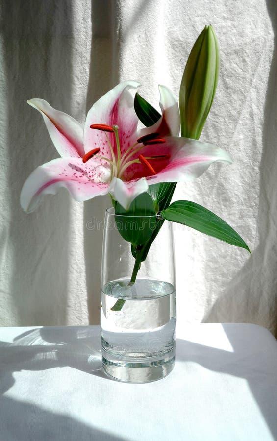 桃红色百合开花和芽在一个玻璃花瓶,白色背景 免版税库存照片