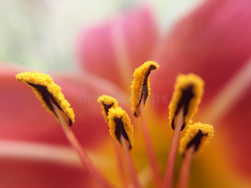 桃红色的花粉 免版税库存照片