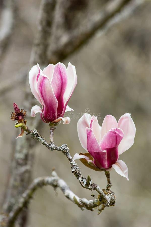 桃红色盛开木兰花 图库摄影