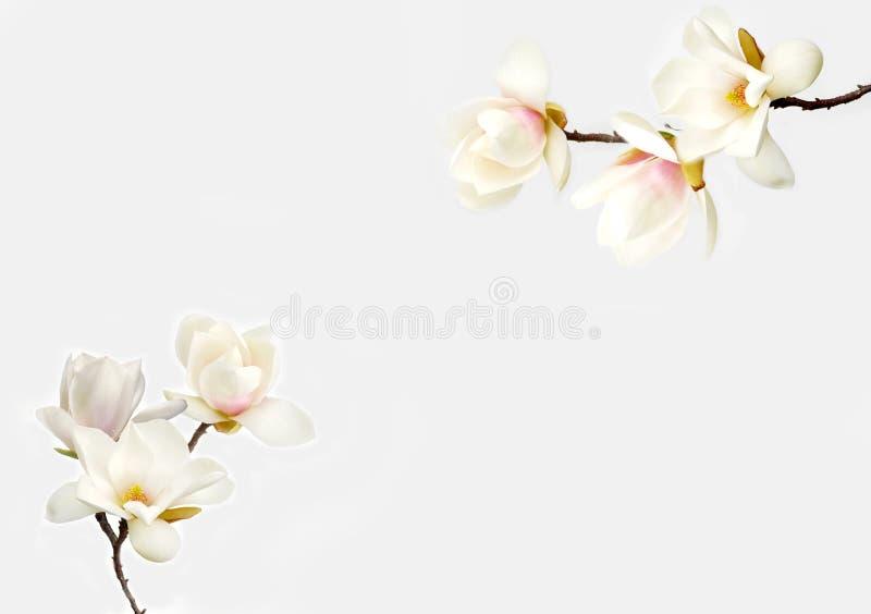 桃红色盛开木兰花 库存图片