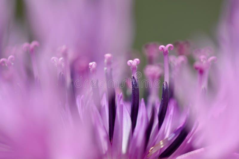 桃红色矢车菊的极端接近的照片 免版税图库摄影