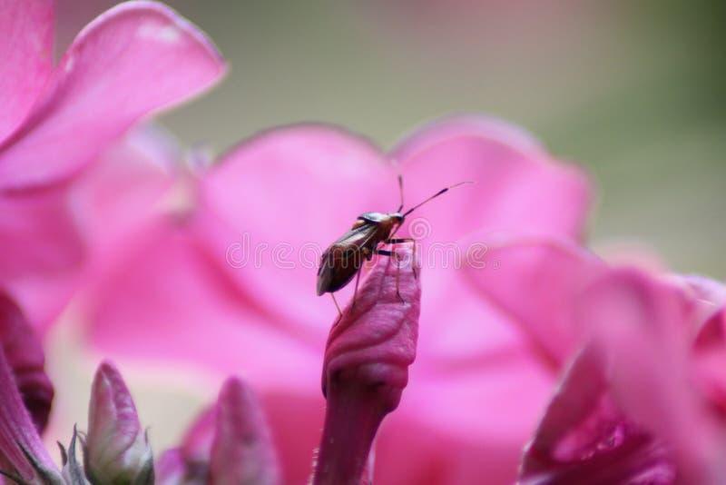 桃红色福禄考芽的一位勇敢的昆虫探险家 免版税库存照片