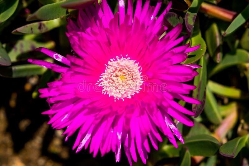 桃红色突围特写镜头我英俊的花在南非在晴天从上面 免版税库存照片