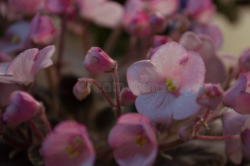 桃红色紫罗兰在桌上 免版税库存照片