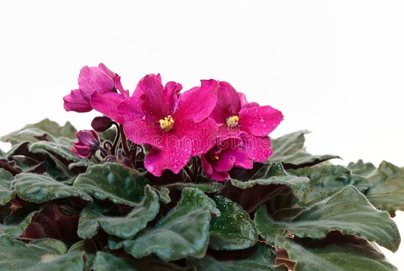 桃红色紫罗兰 库存照片