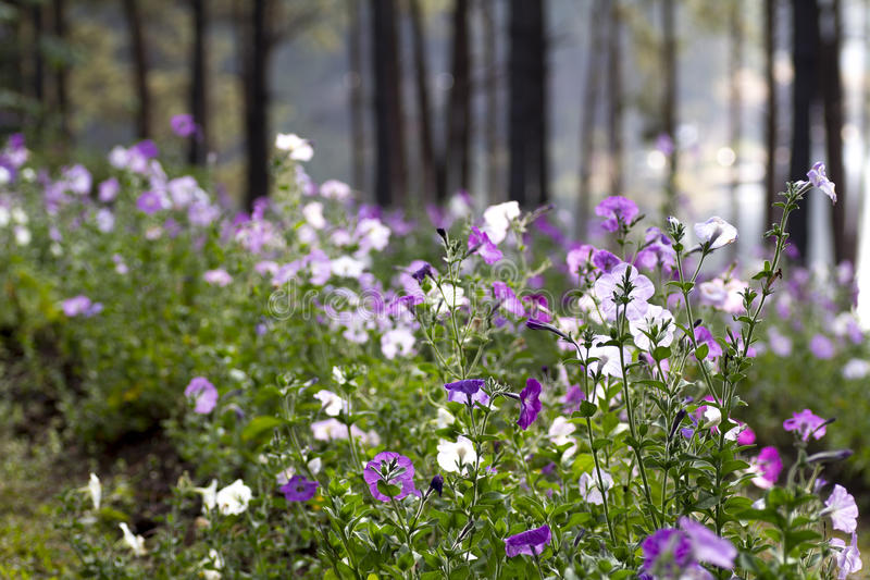 桃红色紫色和空白宽花乡下风景 库存图片