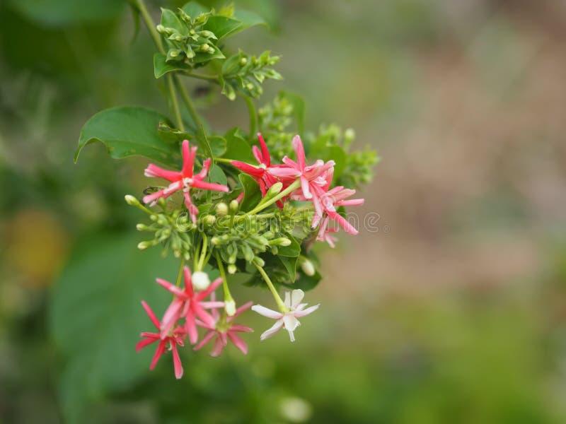 桃红色红色白花迷离自然背景空间为写道 库存图片