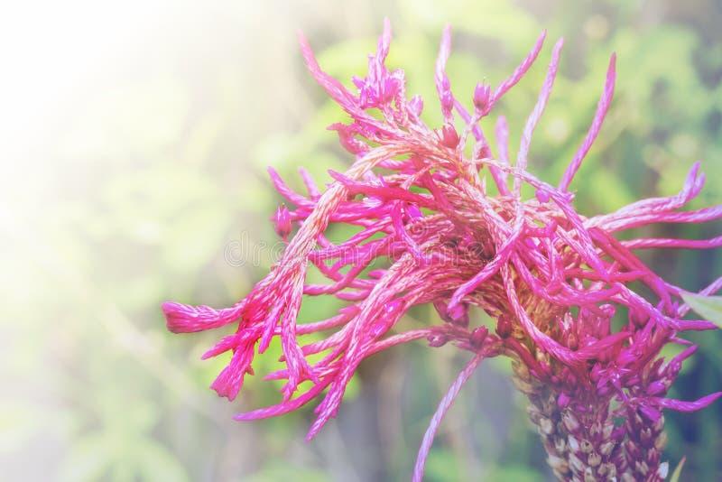 桃红色红色Cockscomb 图库摄影