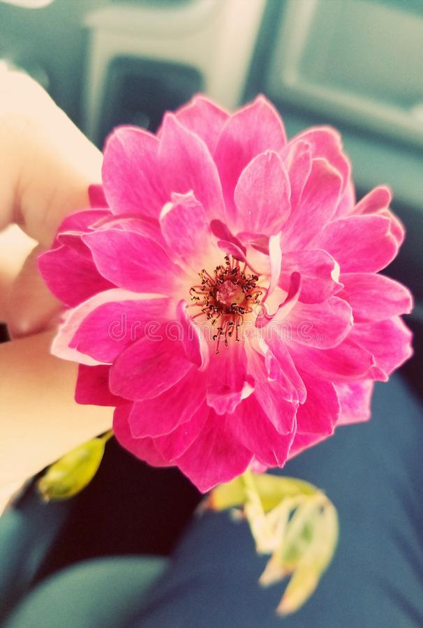桃红色绽放 图库摄影