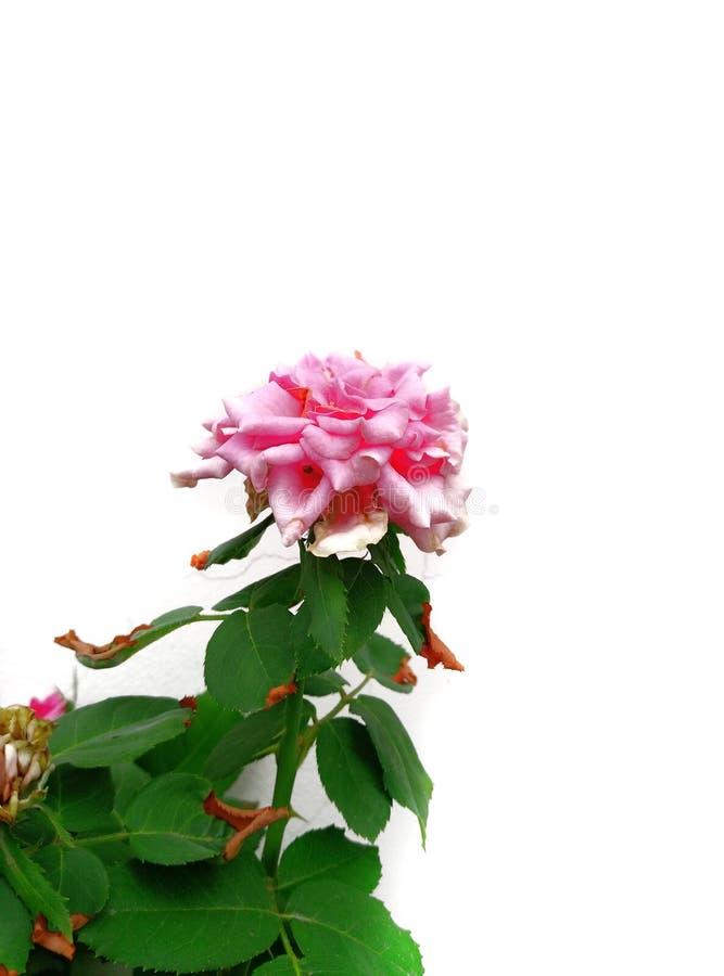 桃红色罗斯杂种香水月季 图库摄影