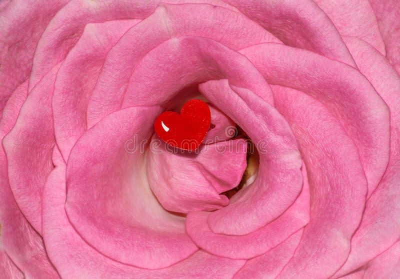桃红色罗斯花爱红色心脏 图库摄影