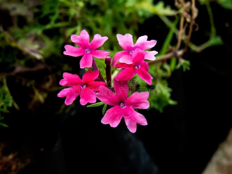 桃红色罗斯马鞭草属植物印度小的花  免版税库存图片